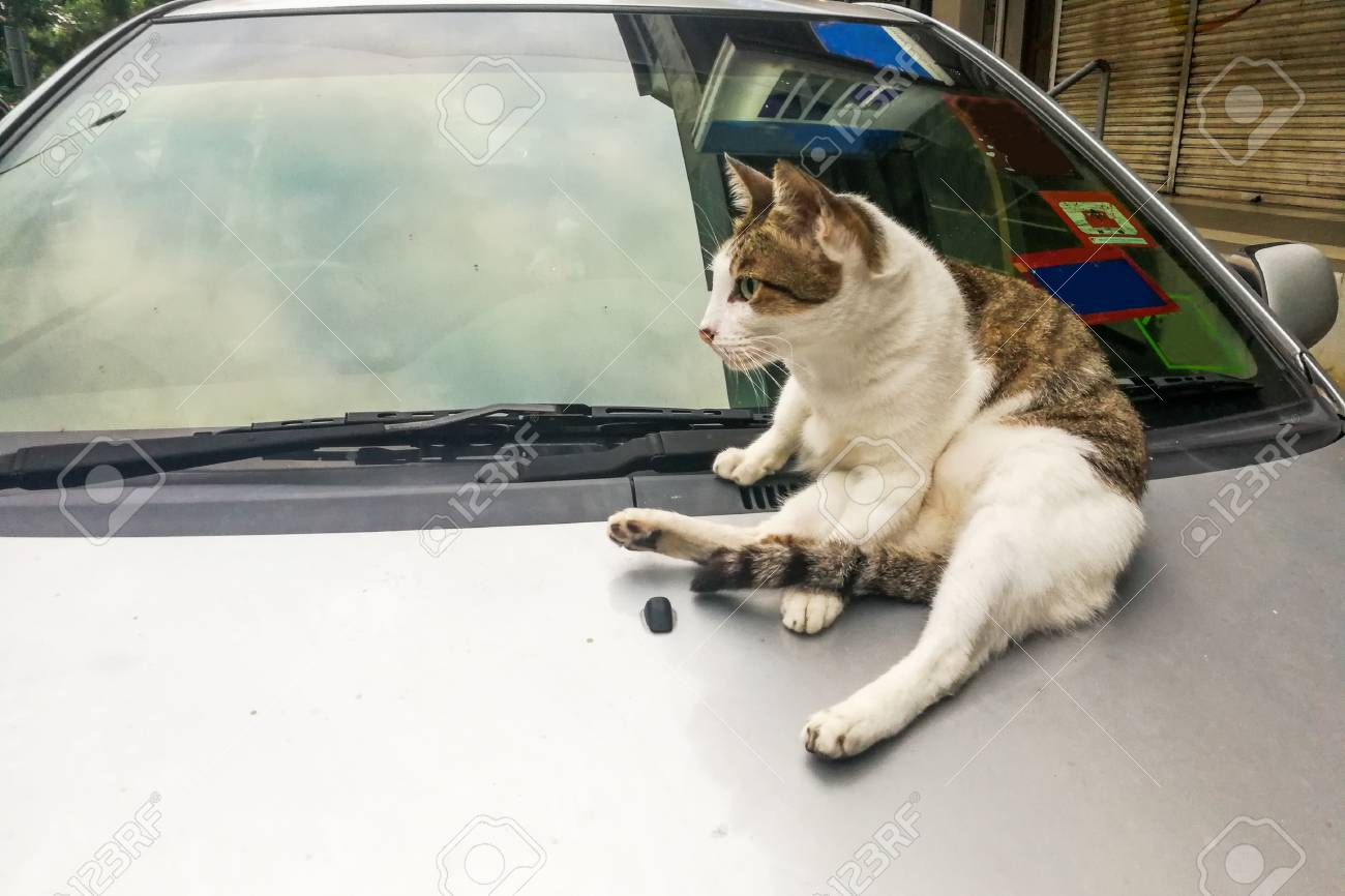 Cat Climb Rest On Car Can Damage Car Paint With Its Paws