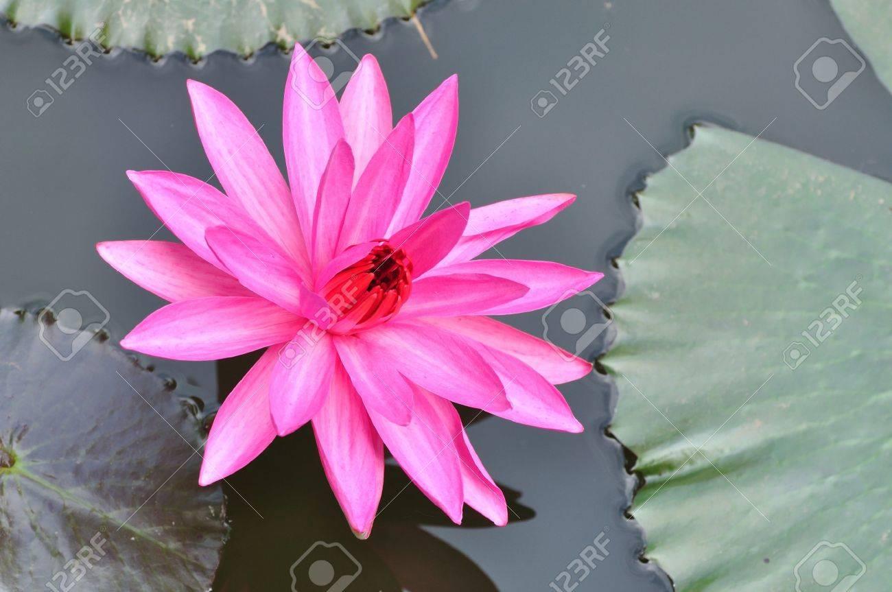 Pink Lotus Stock Photo - 9969522