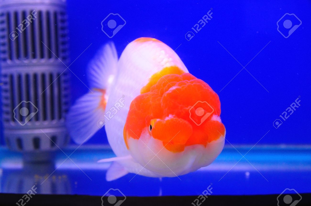 Lion Head Gold Fish With Red And White Color In Blue Tank Stock