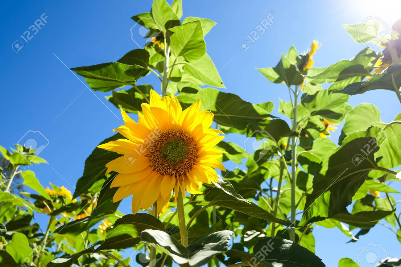 Sunflowerssunflowers Blooming Against A Bright Skysunflowers