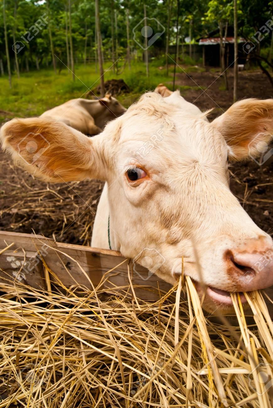 Cattle grazing Stock Photo - 15007500