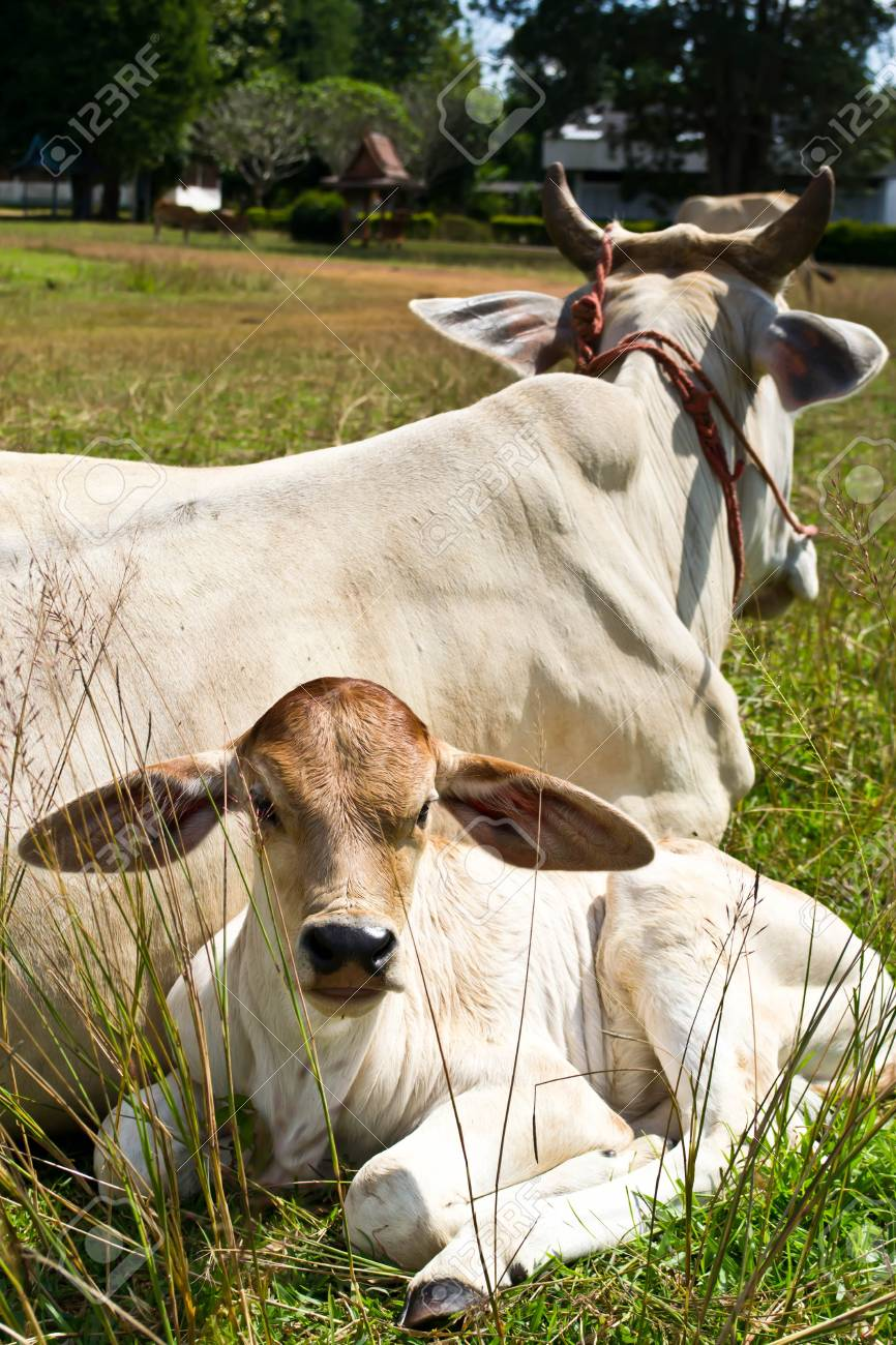 Cow in the meadow Stock Photo - 16273673