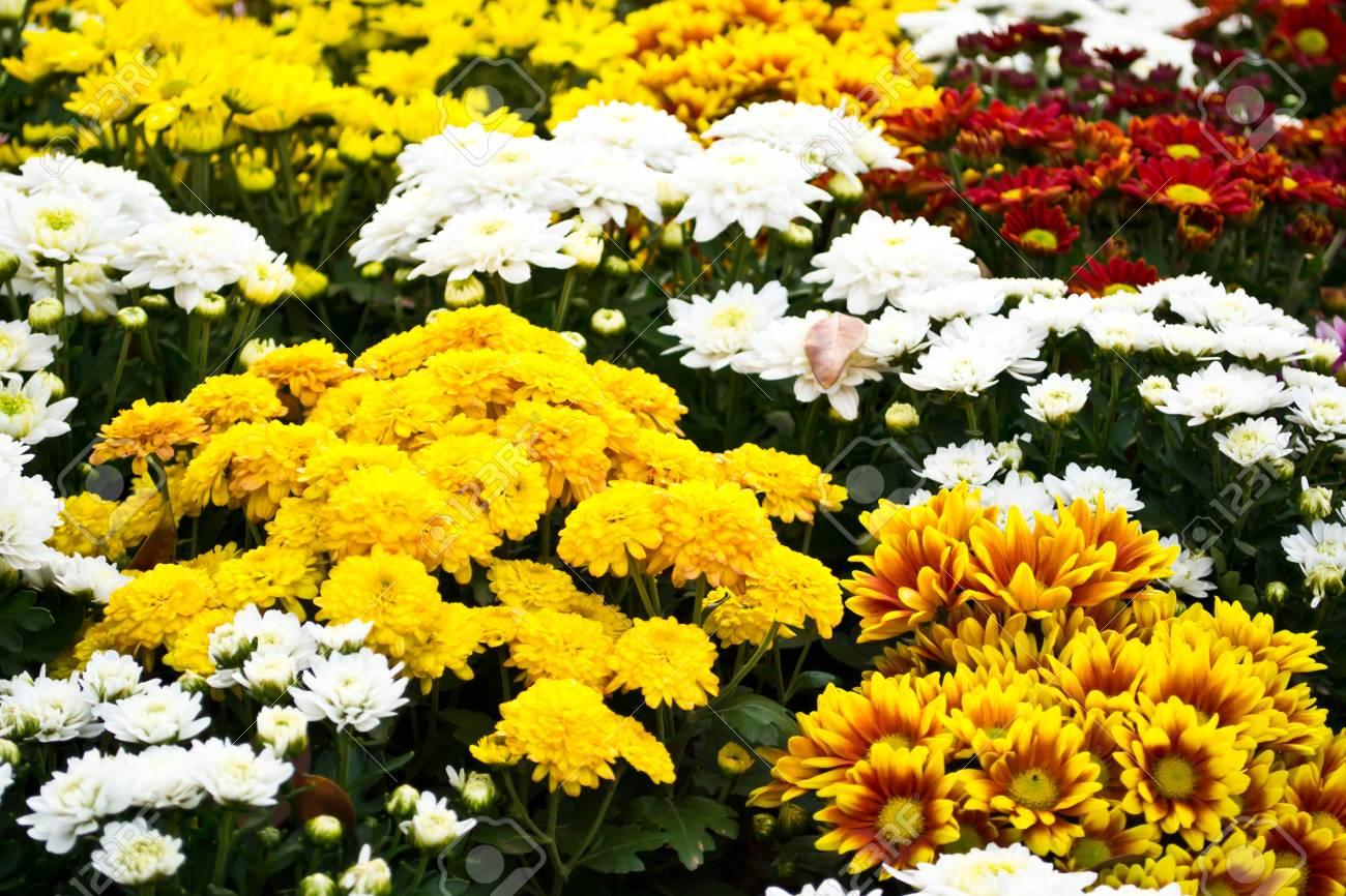 Fiori di calendula in giardino colorato foto royalty free