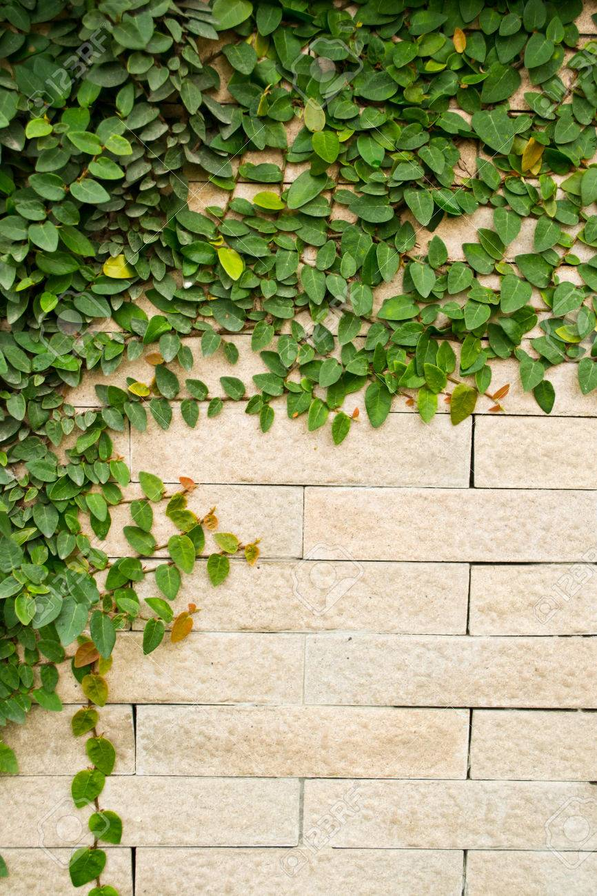 Creeper Plant Growing On A Brick Wall Stock Photo Picture And Royalty Free Image Image 25277170