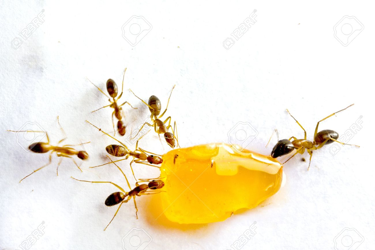 Macro picture of a black ant eating candy on white background Stock Photo - 15605077