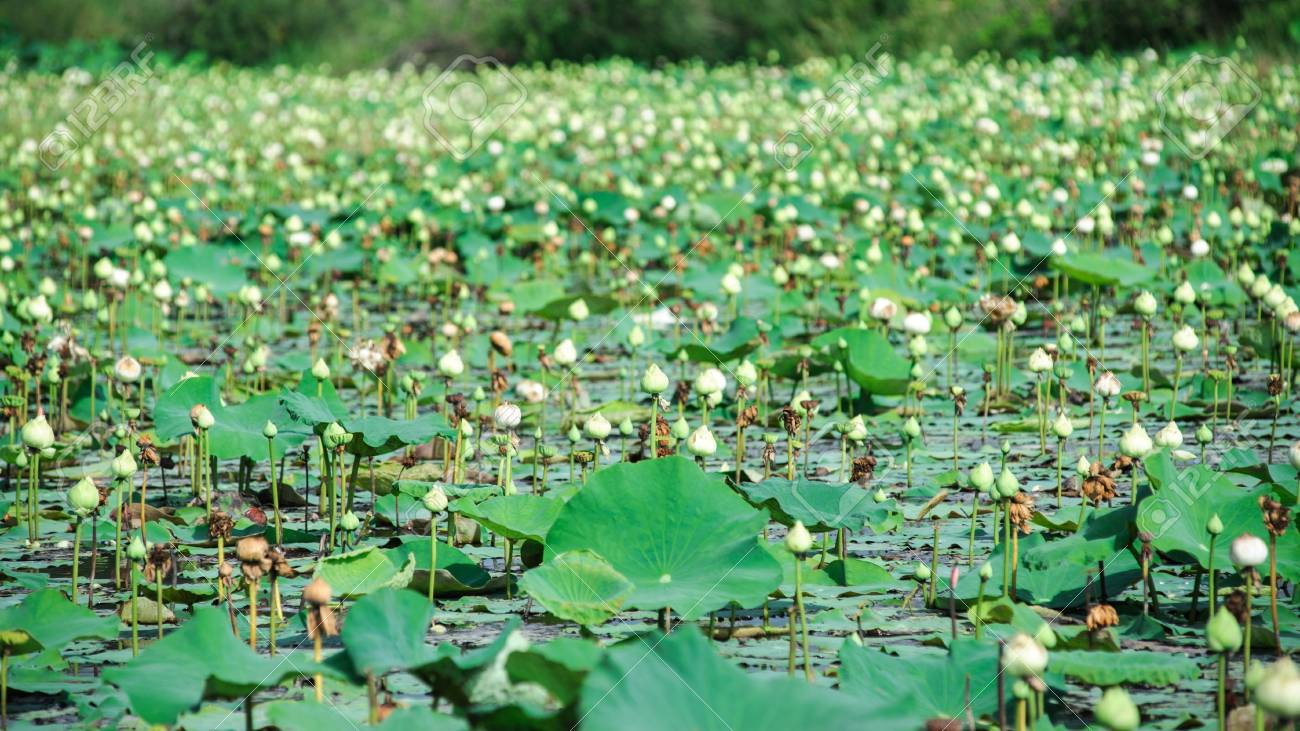 Lotus flowers for the worship of the Buddha. Stock Photo - 13707420