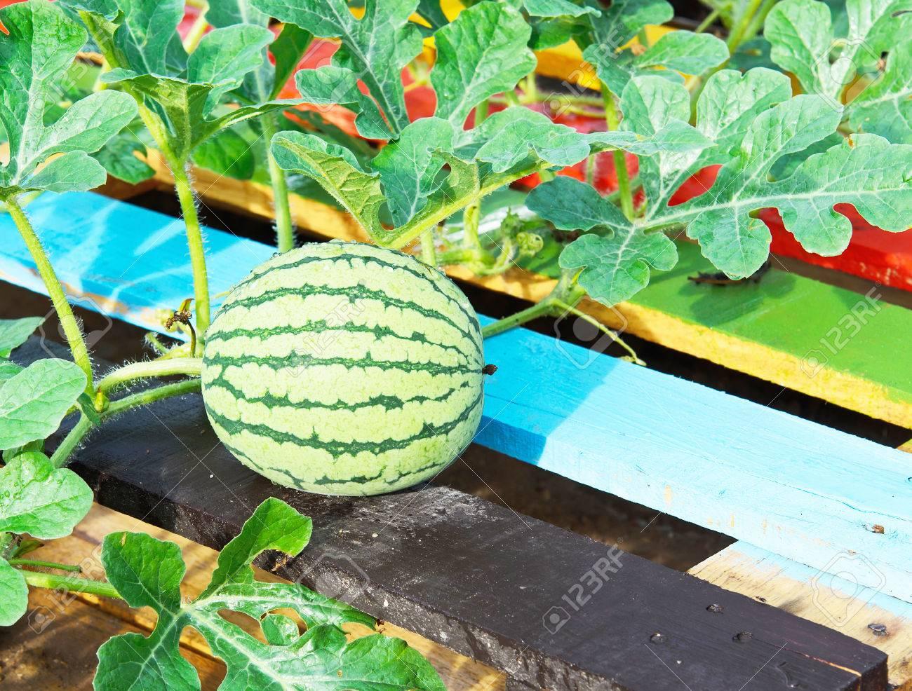 arbre de la pastèque et le melon d'eau vert banque d'images et