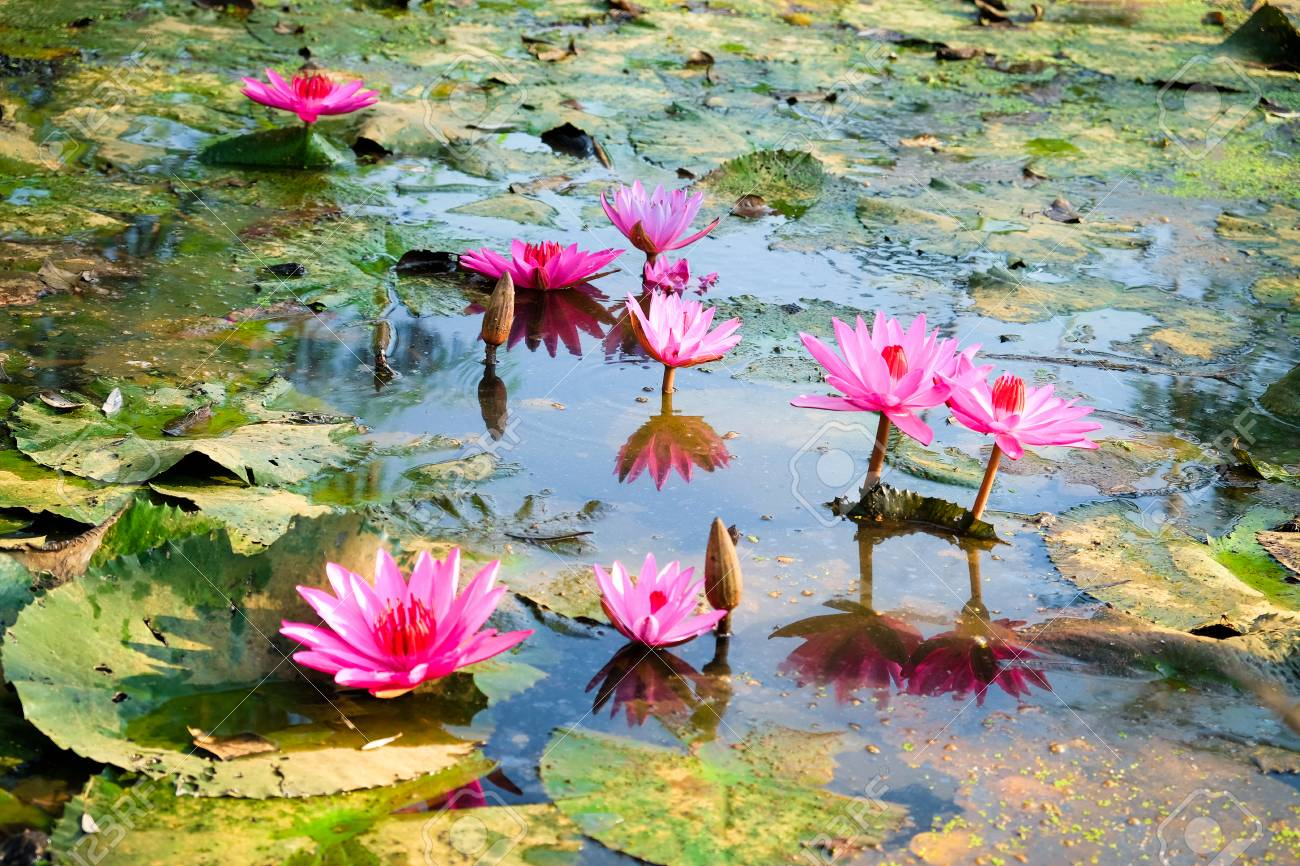 Lotus In The Pond Many Lotus Flowers In The Pond Is In Full Stock