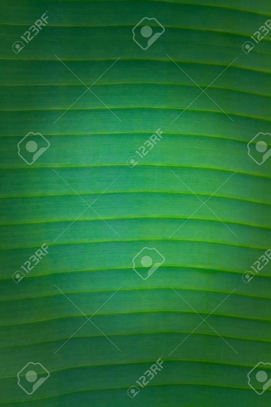 banana leaf close up Stock Photo - 7291009