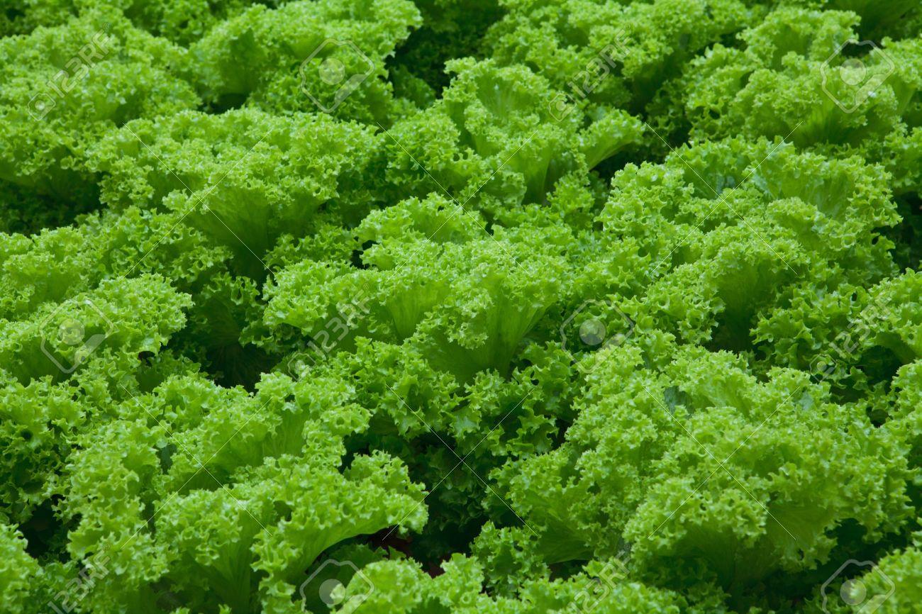 vegetables hydroponics farm,Cameron Malaysia Stock Photo - 11933707