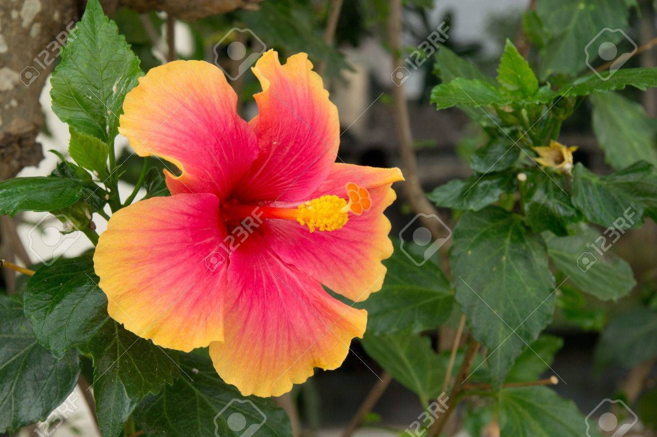 Hibiscus Flowers In Red Yellow Edges Stock Photo Picture And