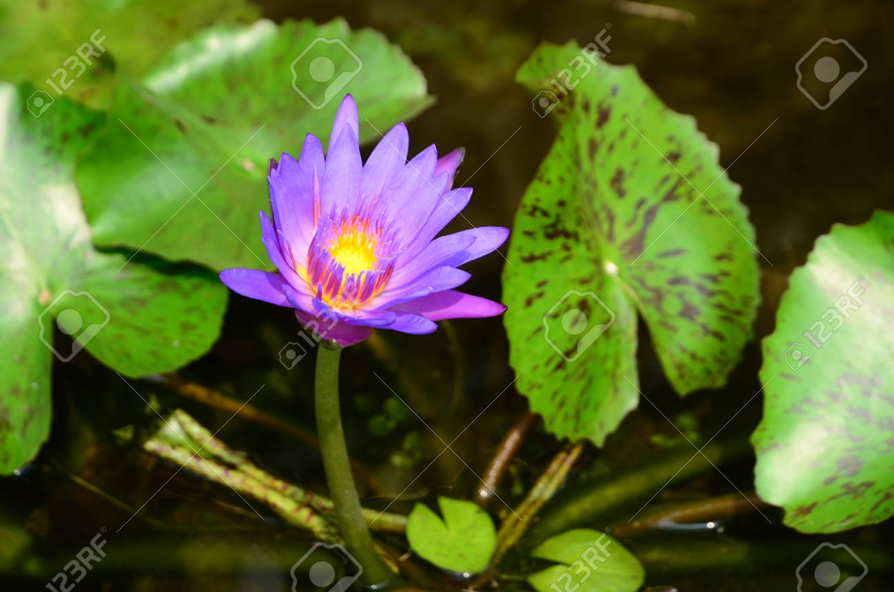 This Beautiful Waterlily Or Lotus Flower Is Complimented By The