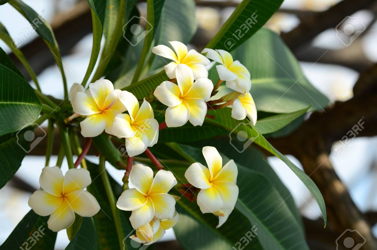 Plumeria Flower. white flower.Yellow flower or white flower  background.Colorful..