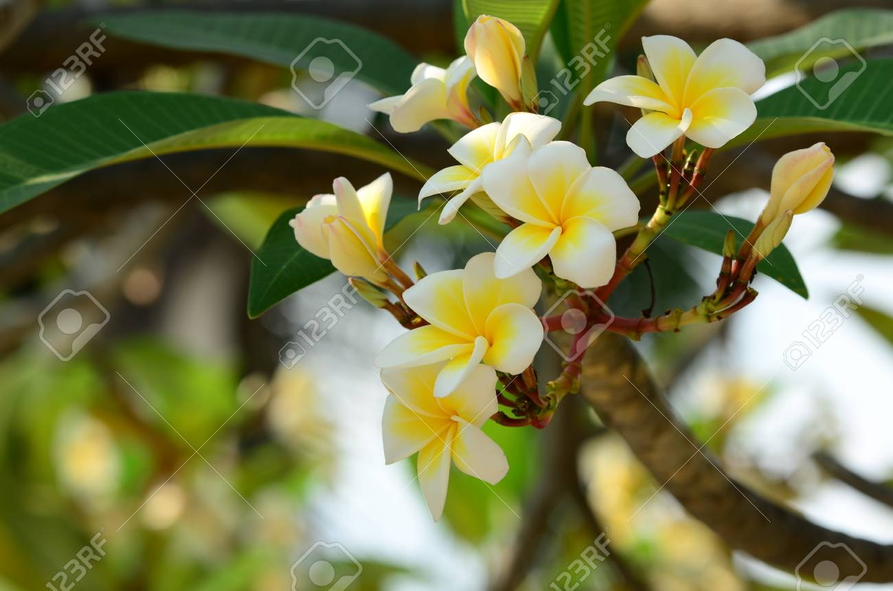 Plumeria Flower.Yellow flower.white flower or white flower  background.Colorful..