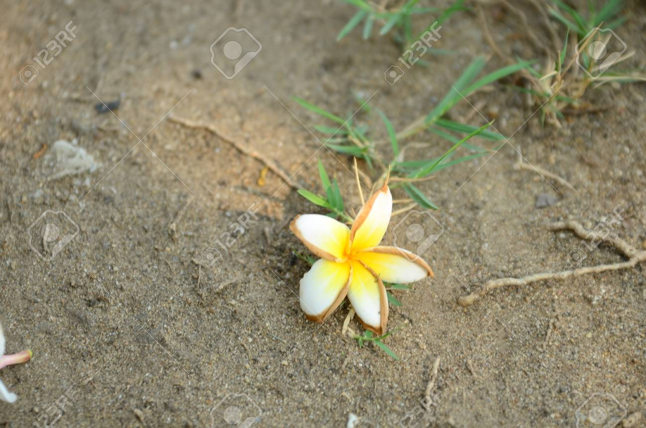 frangipani, Colorful flowers.Group of flower.group of yellow..