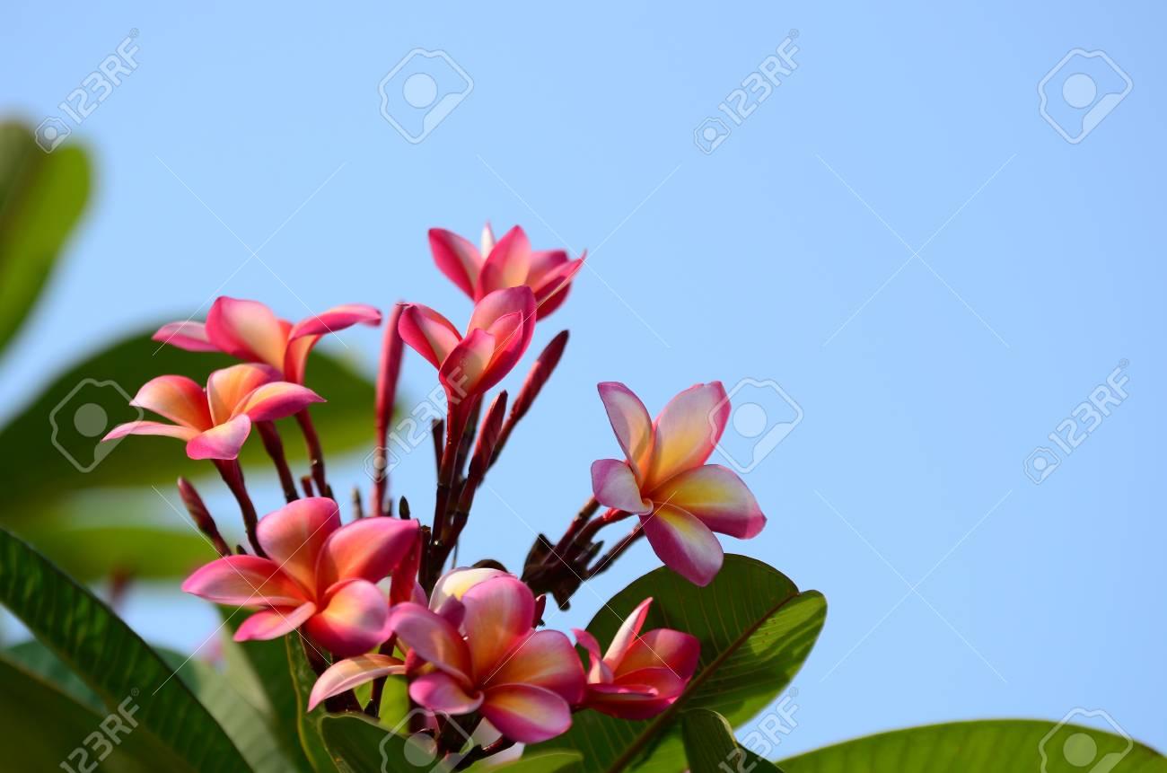 Frangipani Flower Whitecolorful Flowersoup Of Floweroup