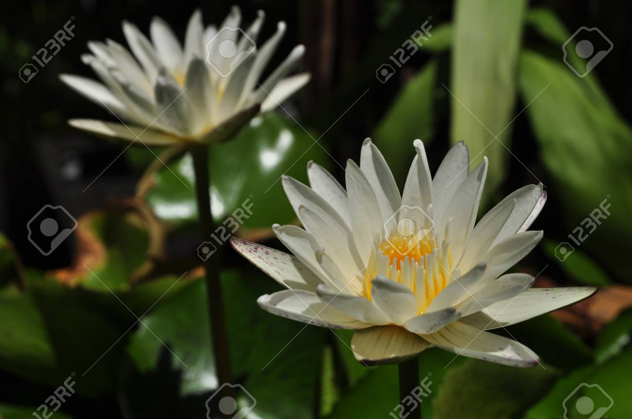Pretty water lotus flower picturesque reflections picturesboss the beautiful white lotus flower or water lily reflection with jpg 1300x863 pretty water lotus flower izmirmasajfo