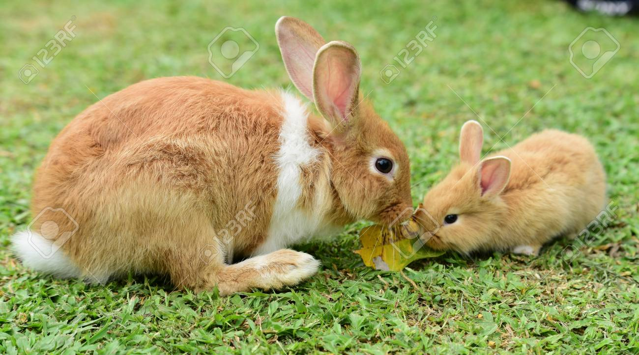 Image of: Bunny Cute Rabbit Brown And White Rabbit Mother And Baby Walking In The Lawn 123rfcom Cute Rabbit Brown And White Rabbit Mother And Baby Walking