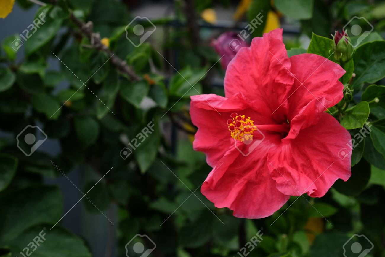 Colorful Hibiscus Flower Stock Photo Picture And Royalty Free Image
