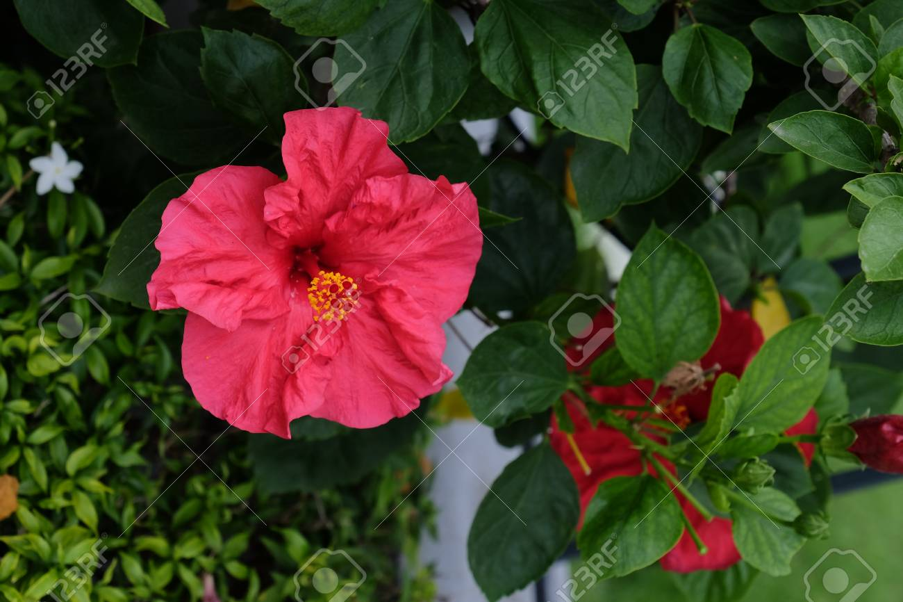 Colorful Hibiscus Flower Stock Photo, Picture And Royalty Free Image ...
