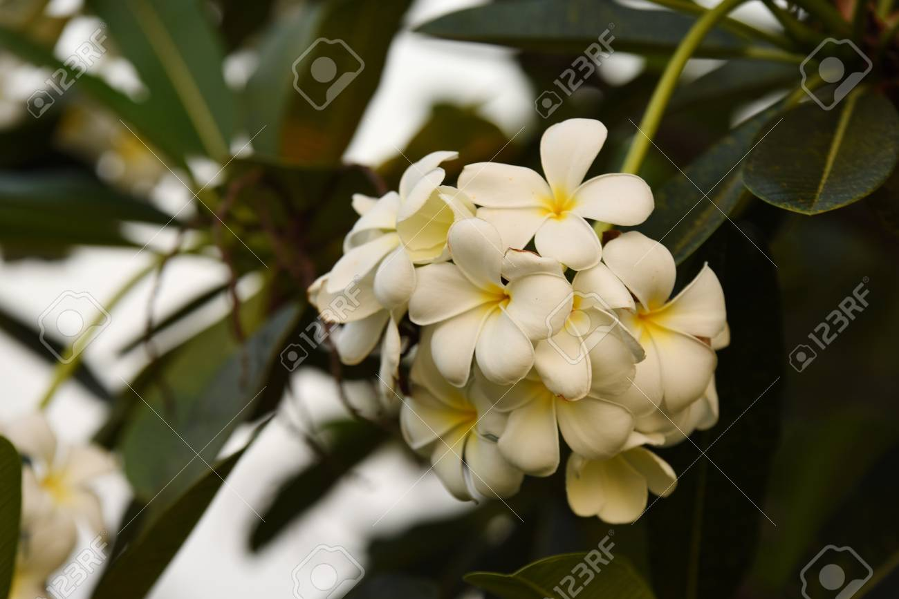 White flowers with sun At sunset light.pink and yellow Plumeria..