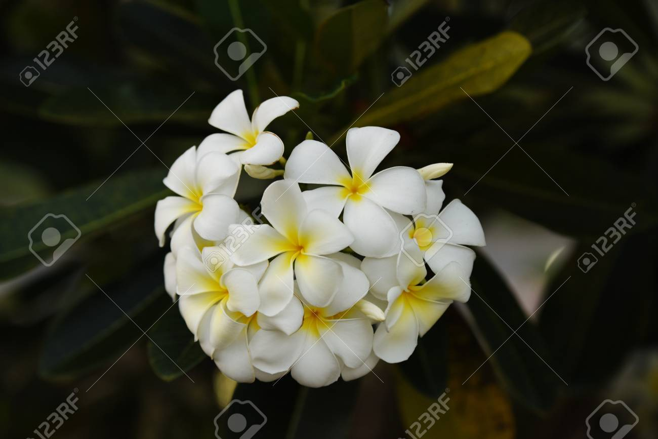 White Flowers With Sun At Sunset Light And Yellow Plumeria