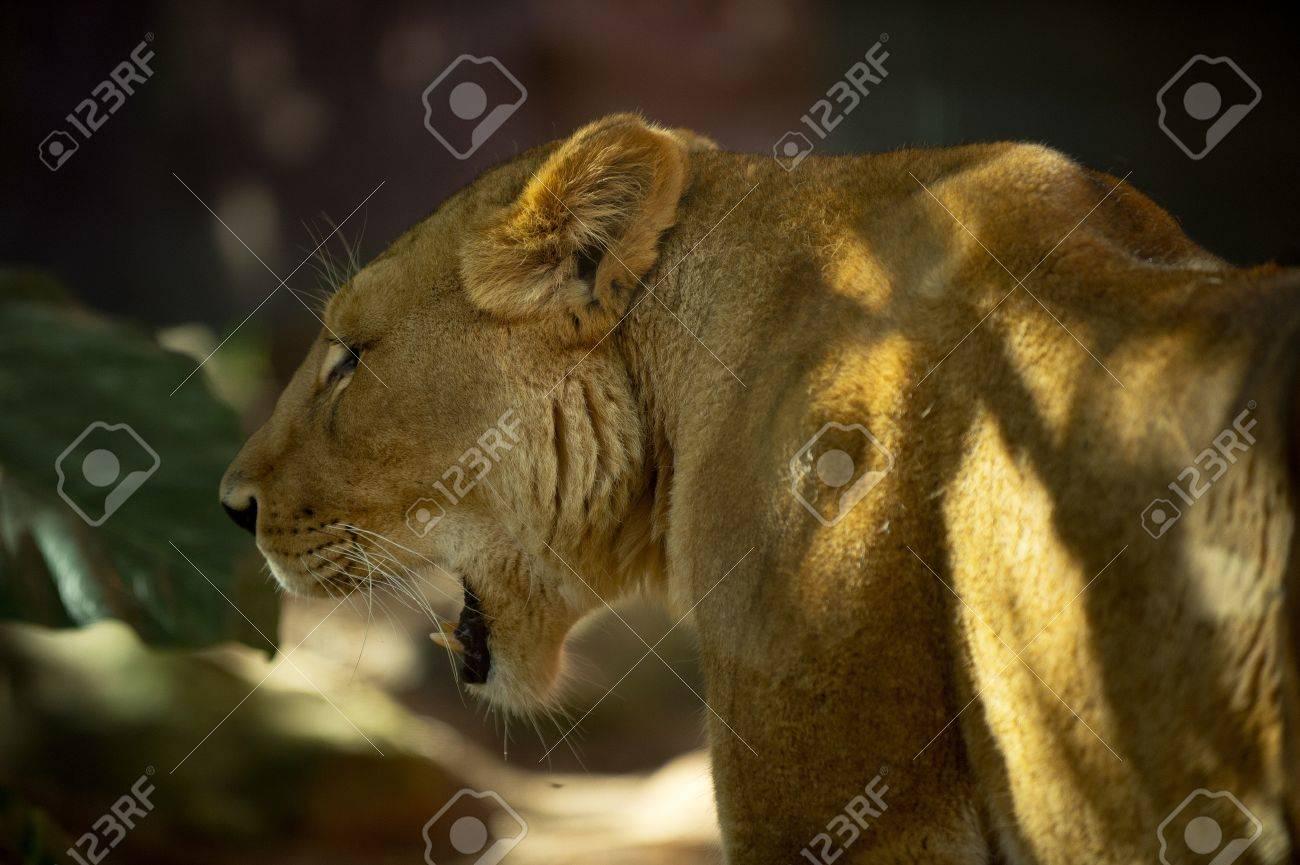 Lioness yawns at sunset - 14466548