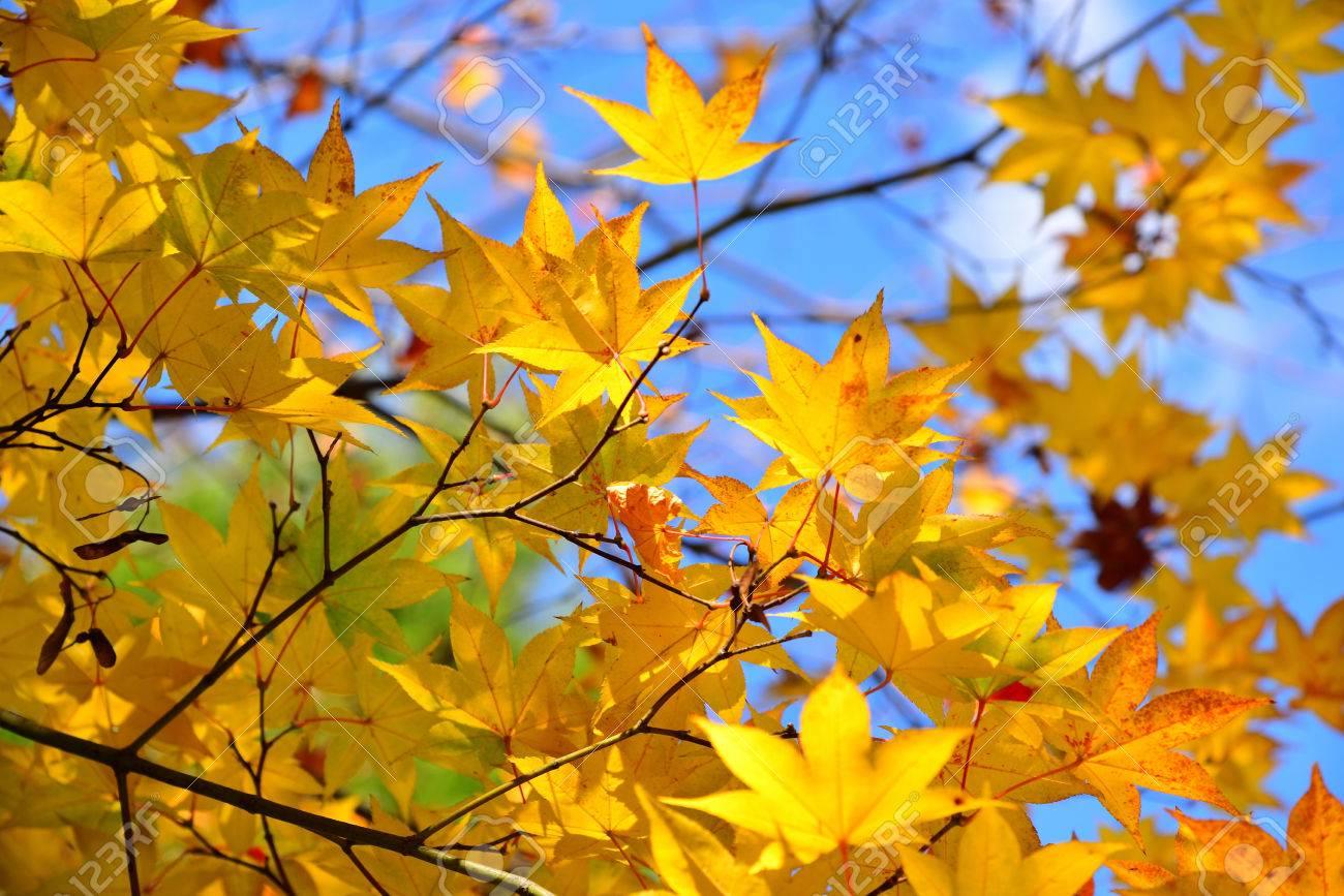 Acero Blu Giapponese foglia di acero gialla giapponese con la priorità bassa del cielo blu in  autunno