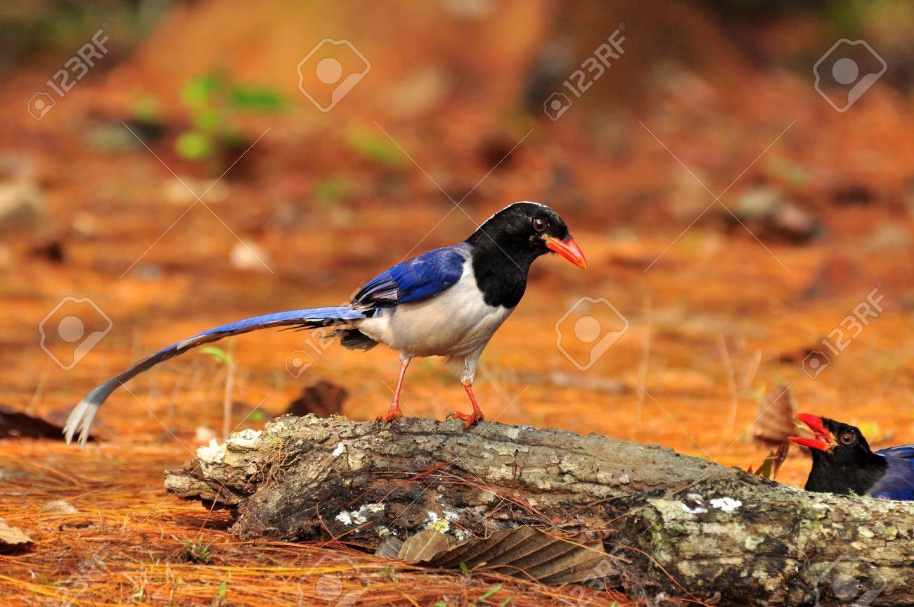 Red-billed Blue Magpie bird of Thailand background - 10861217