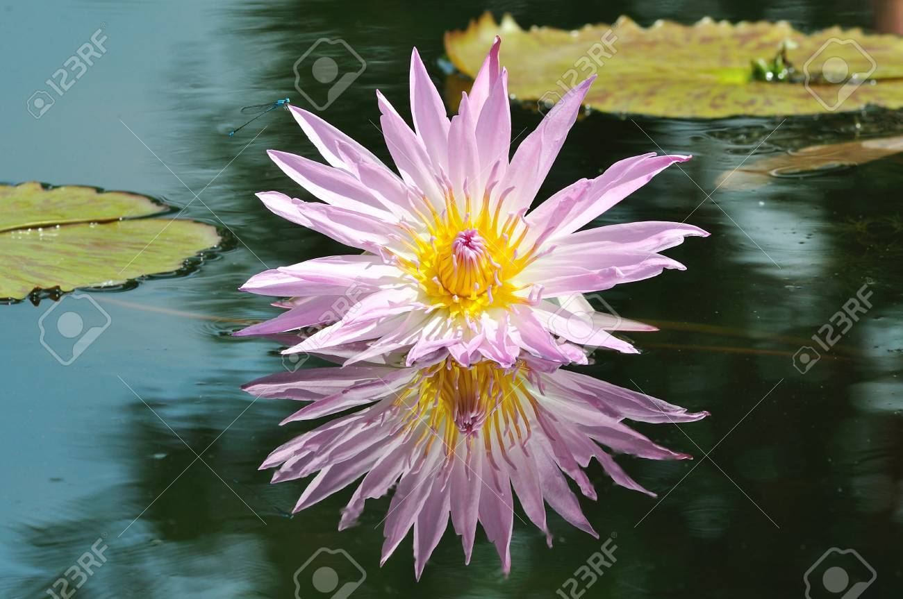 The lotus flower in the peaceful pond from thailand background Stock Photo - 12369715