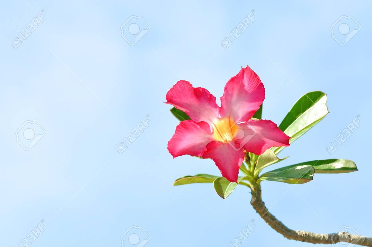impala lily flower Stock Photo - 14125654