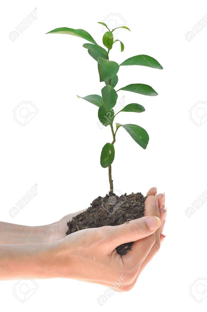 lemon sapling in hands Stock Photo - 14125640