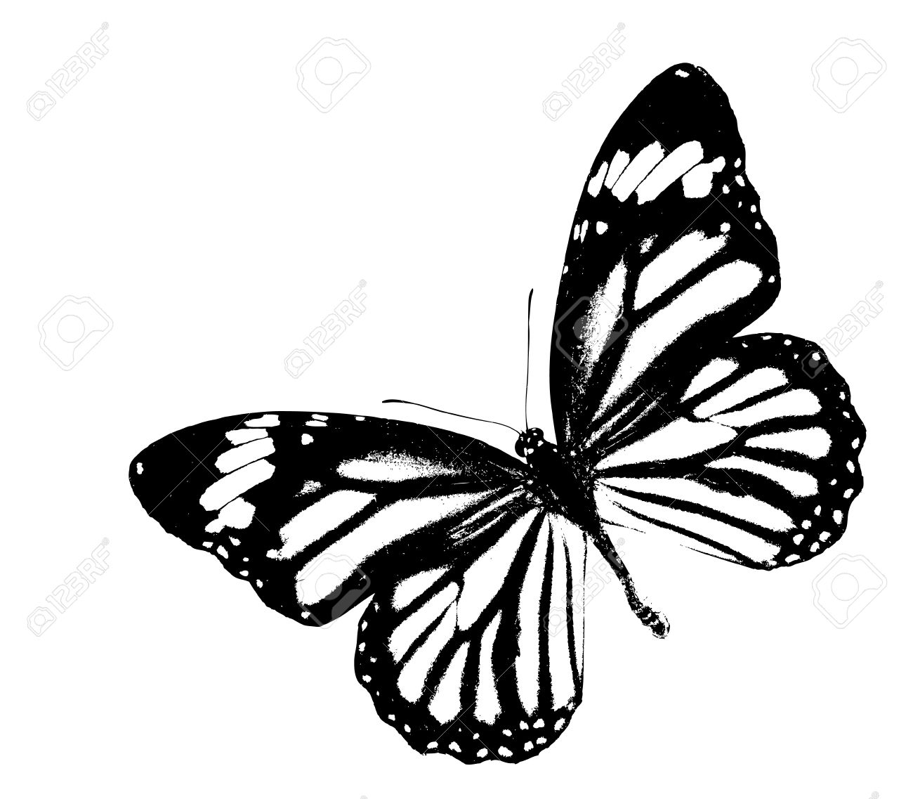 Black and white monarch butterfly flying on isolated white