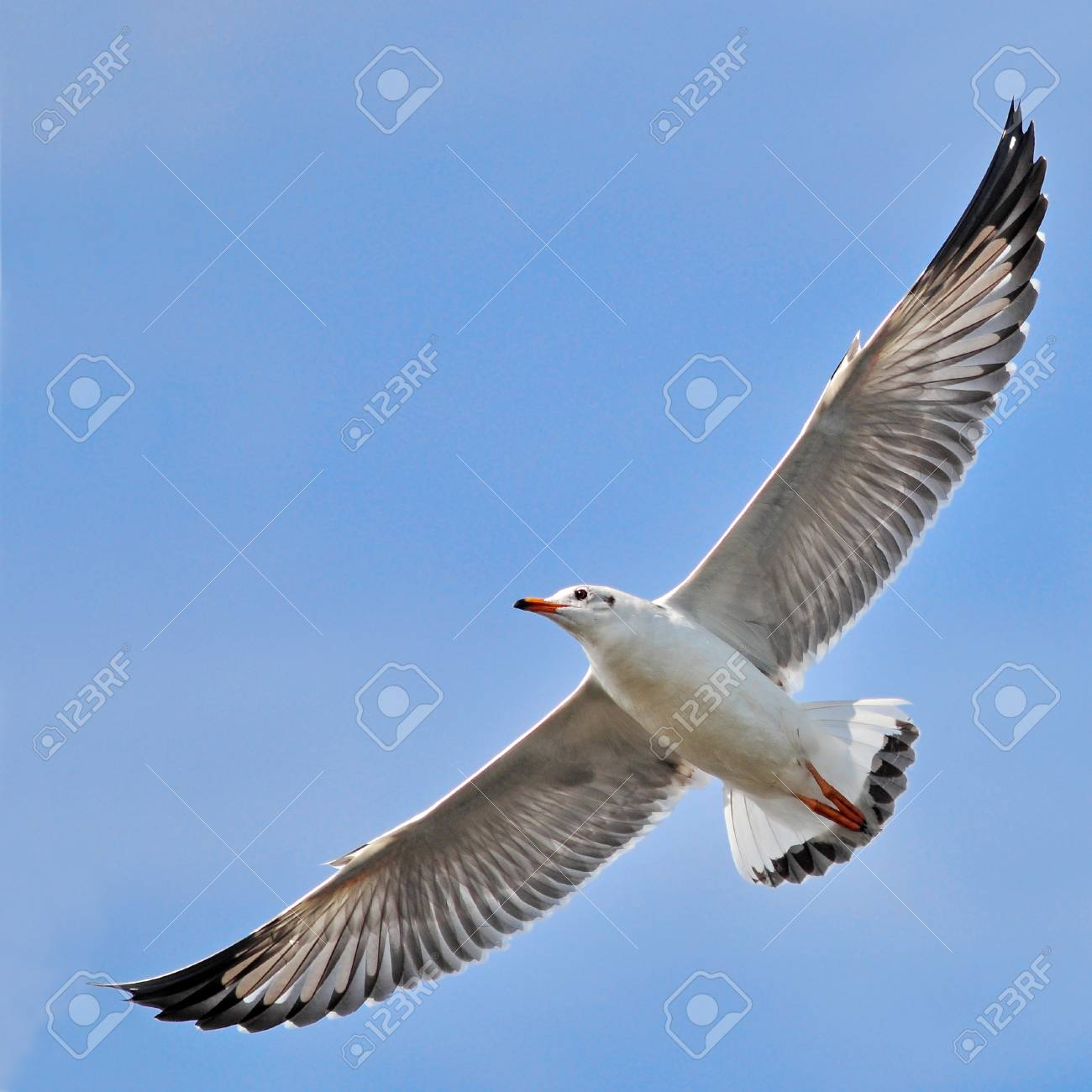 A seagull, soaring in the blue sky Stock Photo - 16385952