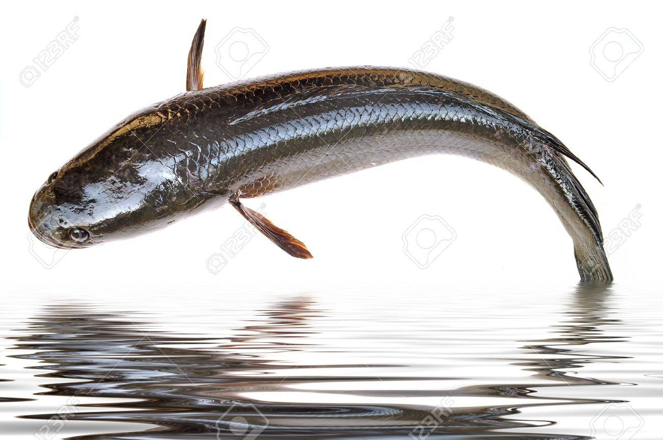 Freshwater fish jumping - Giant Snakehead Fish Jumping From Water Stock Photo 17694235