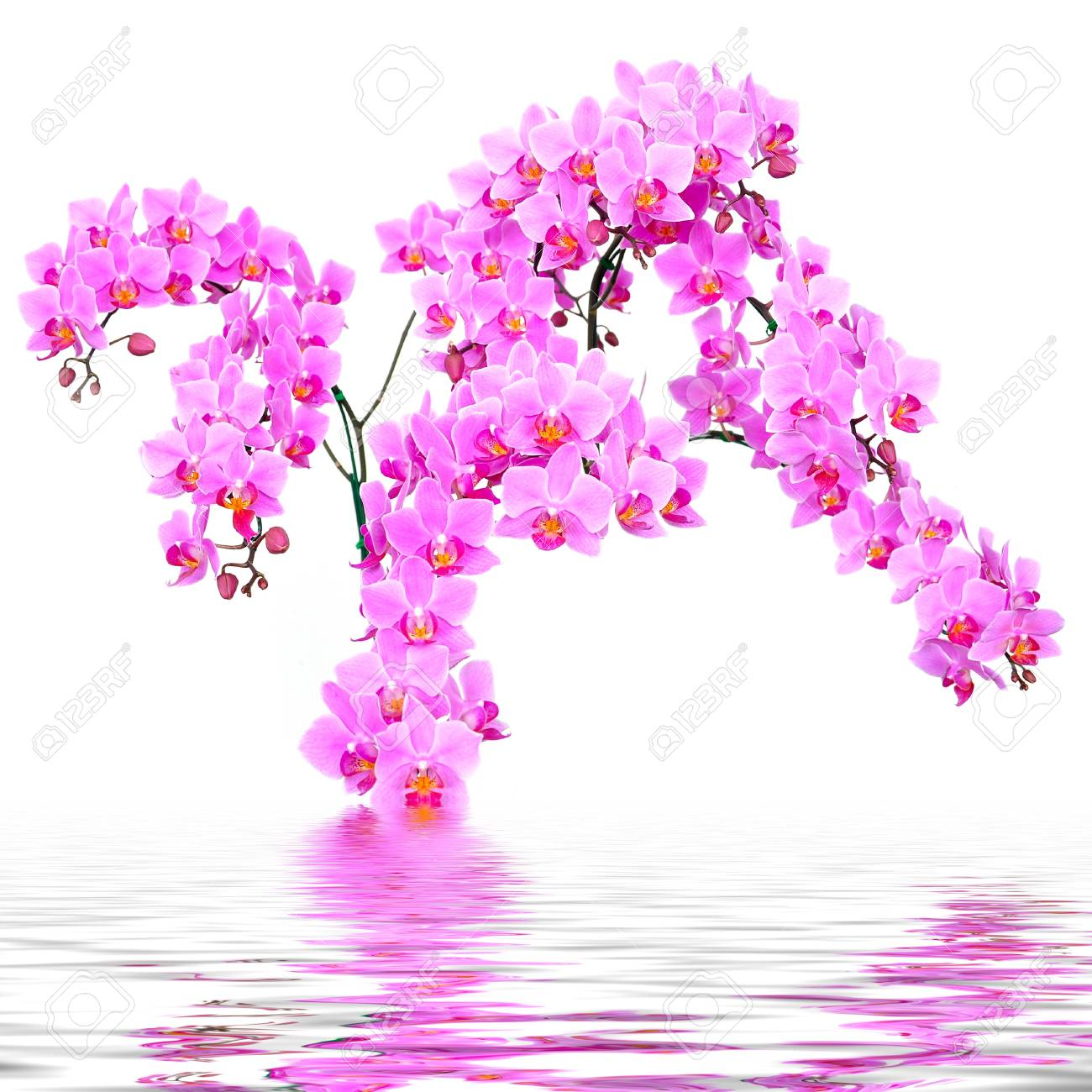 Beautiful pink orchid in the water Stock Photo - 17694250