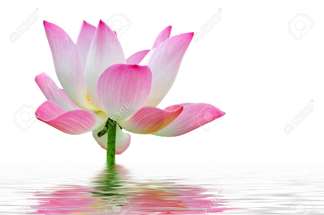 A pink lotus flower in water stock photo picture and royalty free a pink lotus flower in water stock photo 17848141 dhlflorist Images