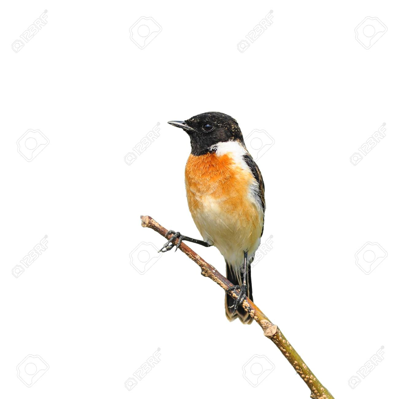 Stone Chat Bird Sitting On A Branch On White Background Stock Photo Picture And Royalty Free Image Image 18240146