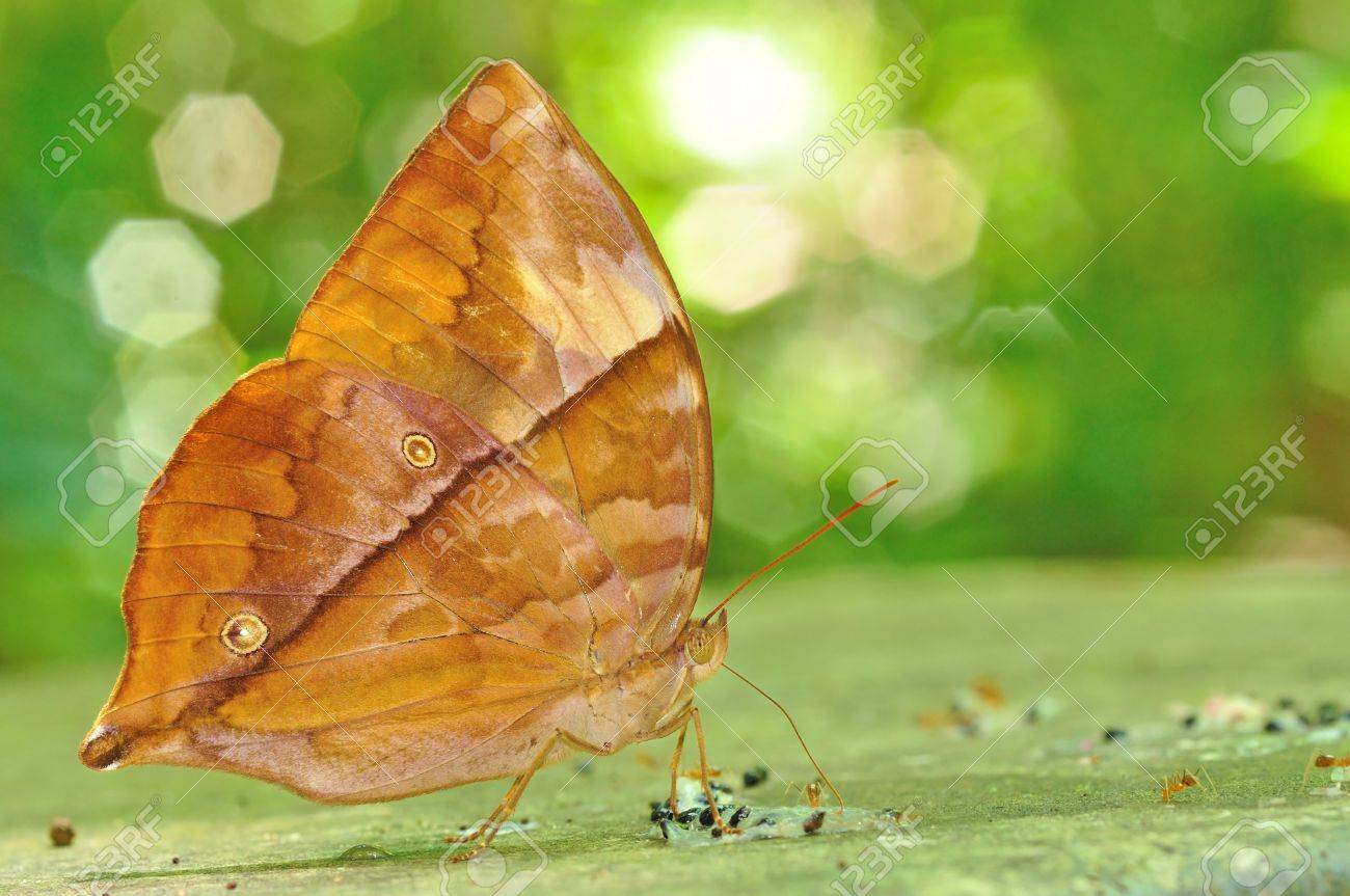 Tìm hiểu Bướm - Page 21 20569959-Brown-butterfly-Common-Saturn-Zeuxidia-amethystus-masoni-on-nature-Stock-Photo