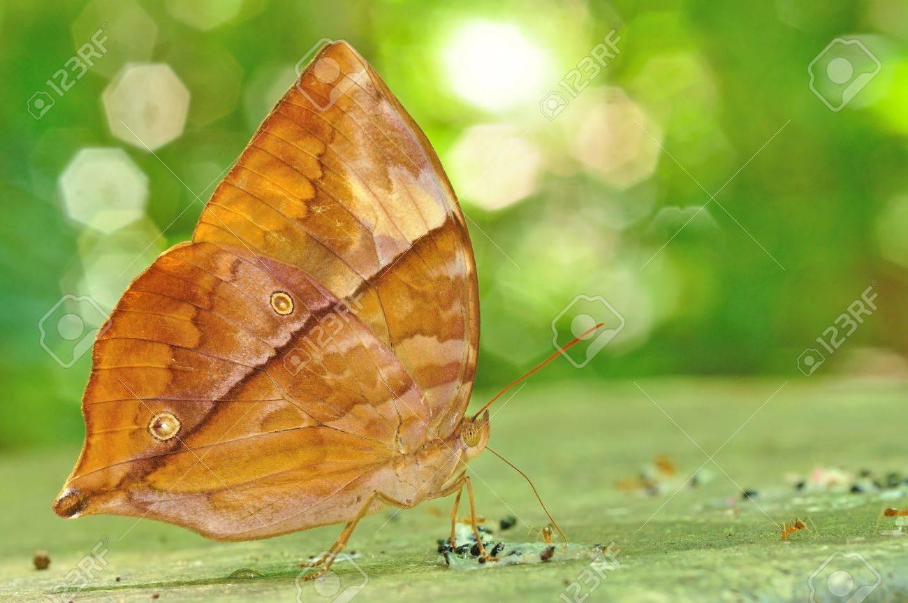 Tìm hiểu Bướm - Page 21 20569959-Brown-butterfly-Common-Saturn-Zeuxidia-amethystus-masoni-on-nature-Stock-Photo