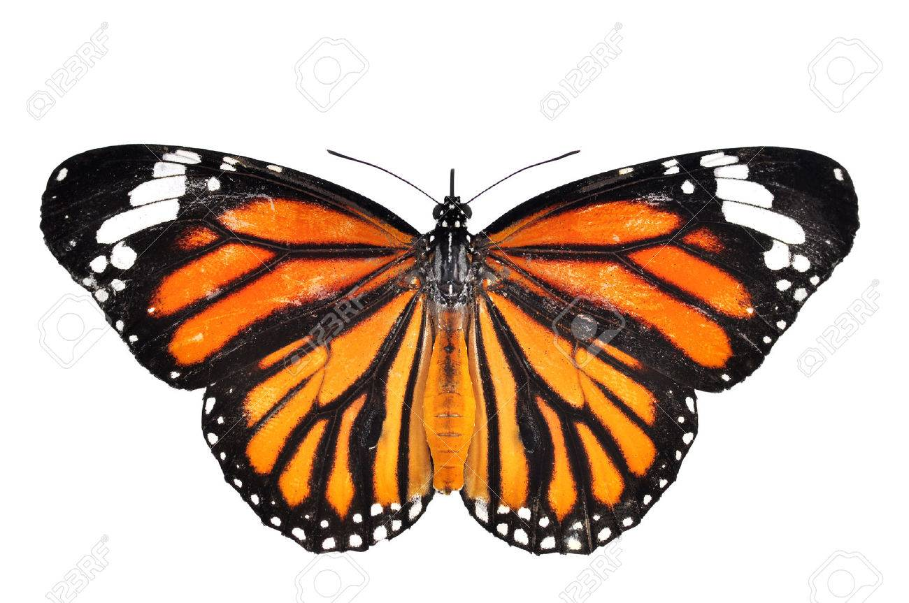 monarch Butterfly isolated on white background - 22800392