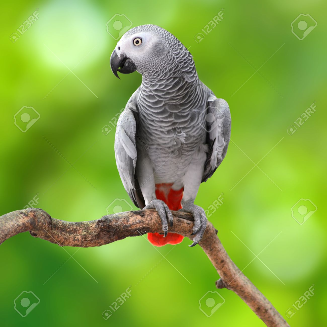 Beautiful grey parrot, African Grey Parrot (Psittacus erithacus), standing on a branch, green background - 27836159