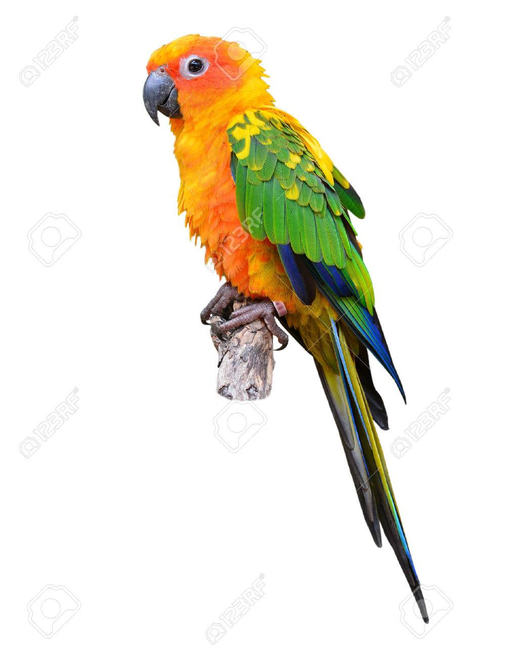 Sun Conure Parrot standing on the stump isolated on white background - 31119704
