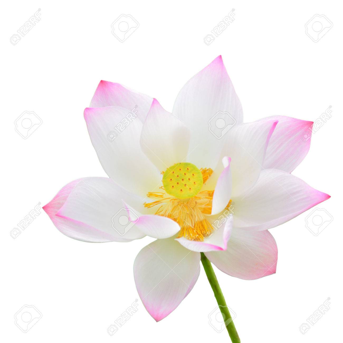 A Beautiful Pink Lotus Flower Isolate On White Background Stock