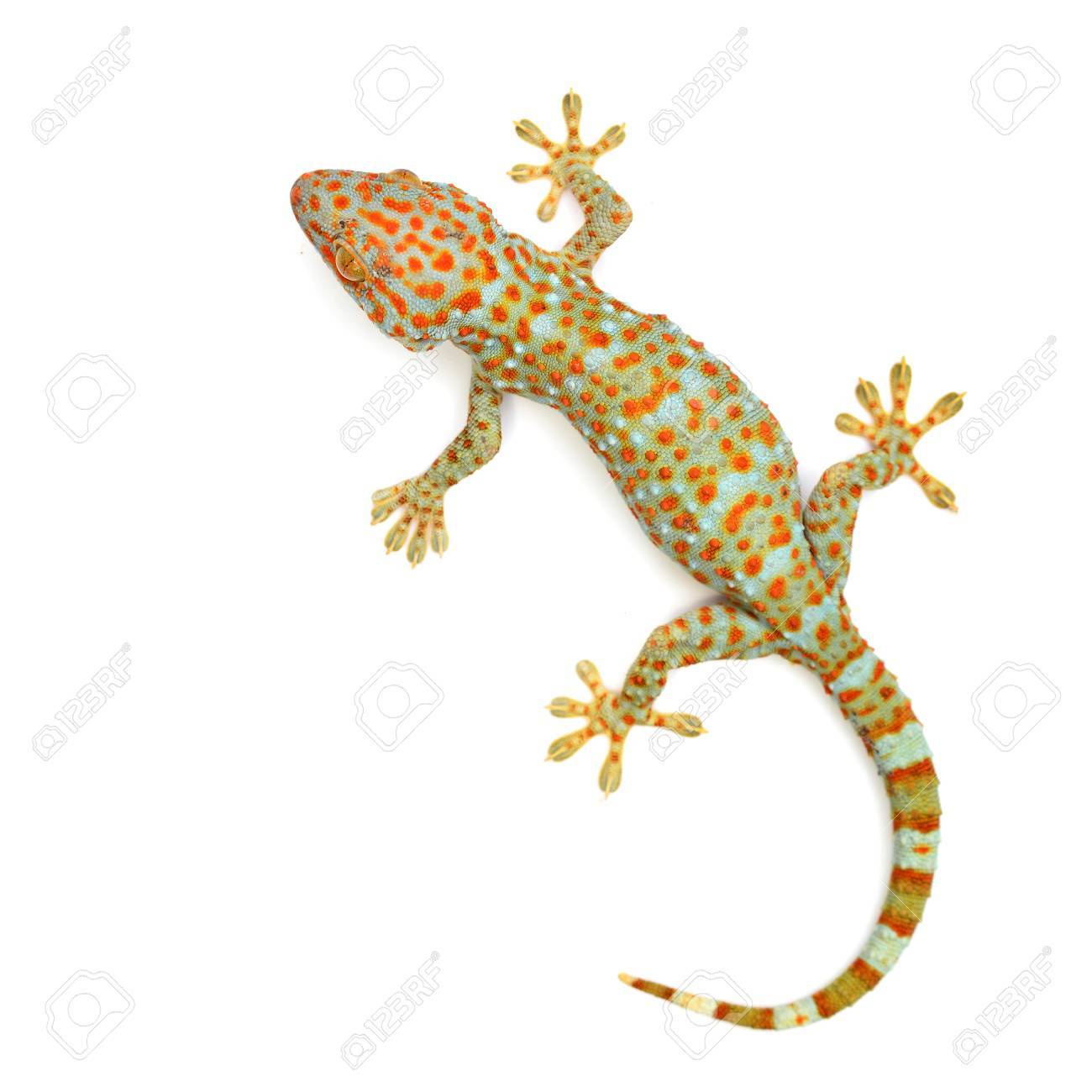 gecko isolated on white background - 32926570
