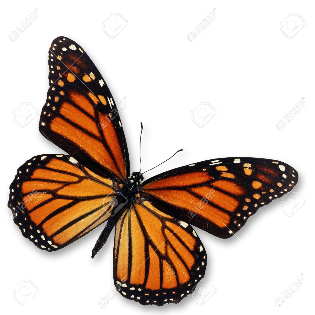 Beautiful monarch butterfly isolated on white background. - 33425712