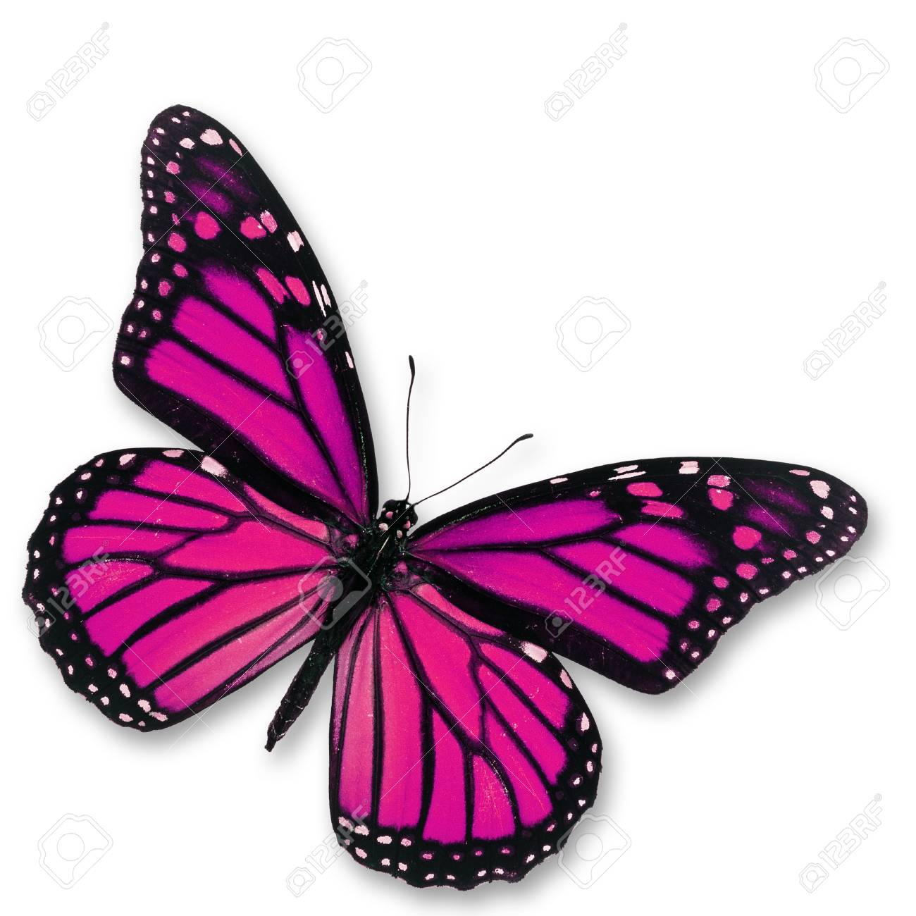 33425457-roze-vlinder-die-op-witte-achtergrond-wordt-ge%C3%AFsoleerd.jpg