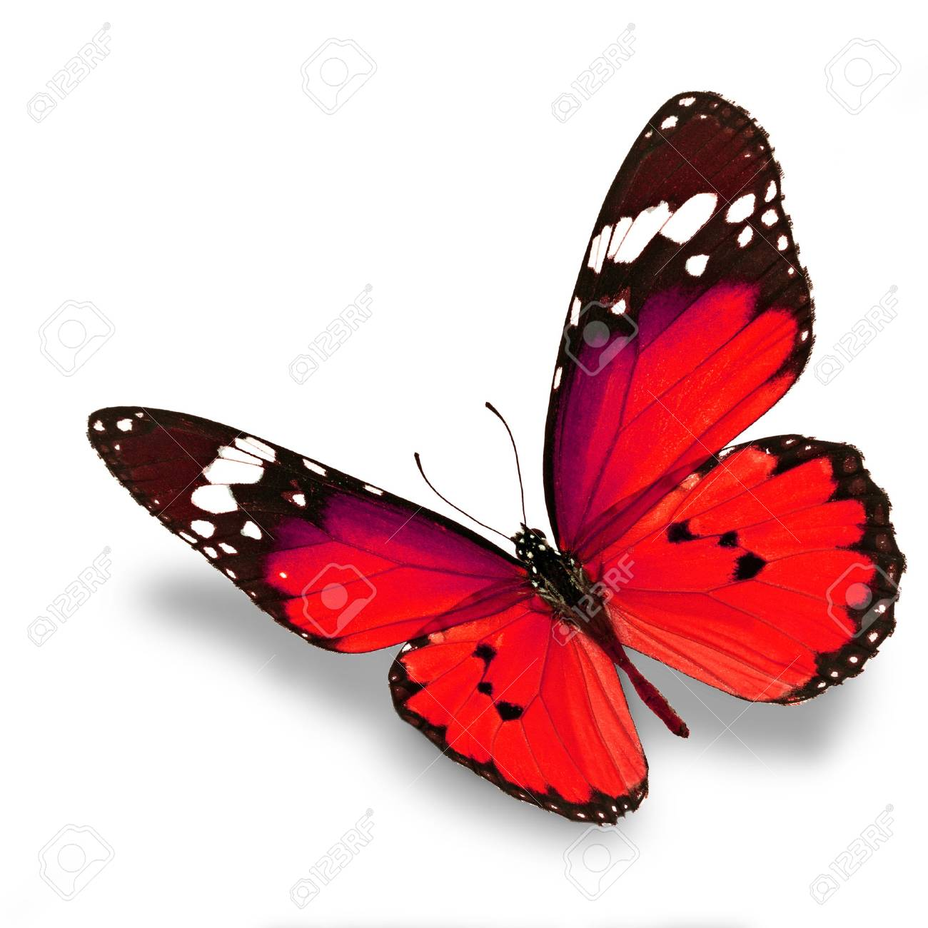 Beautiful red butterfly flying isolated on white background - 33943819
