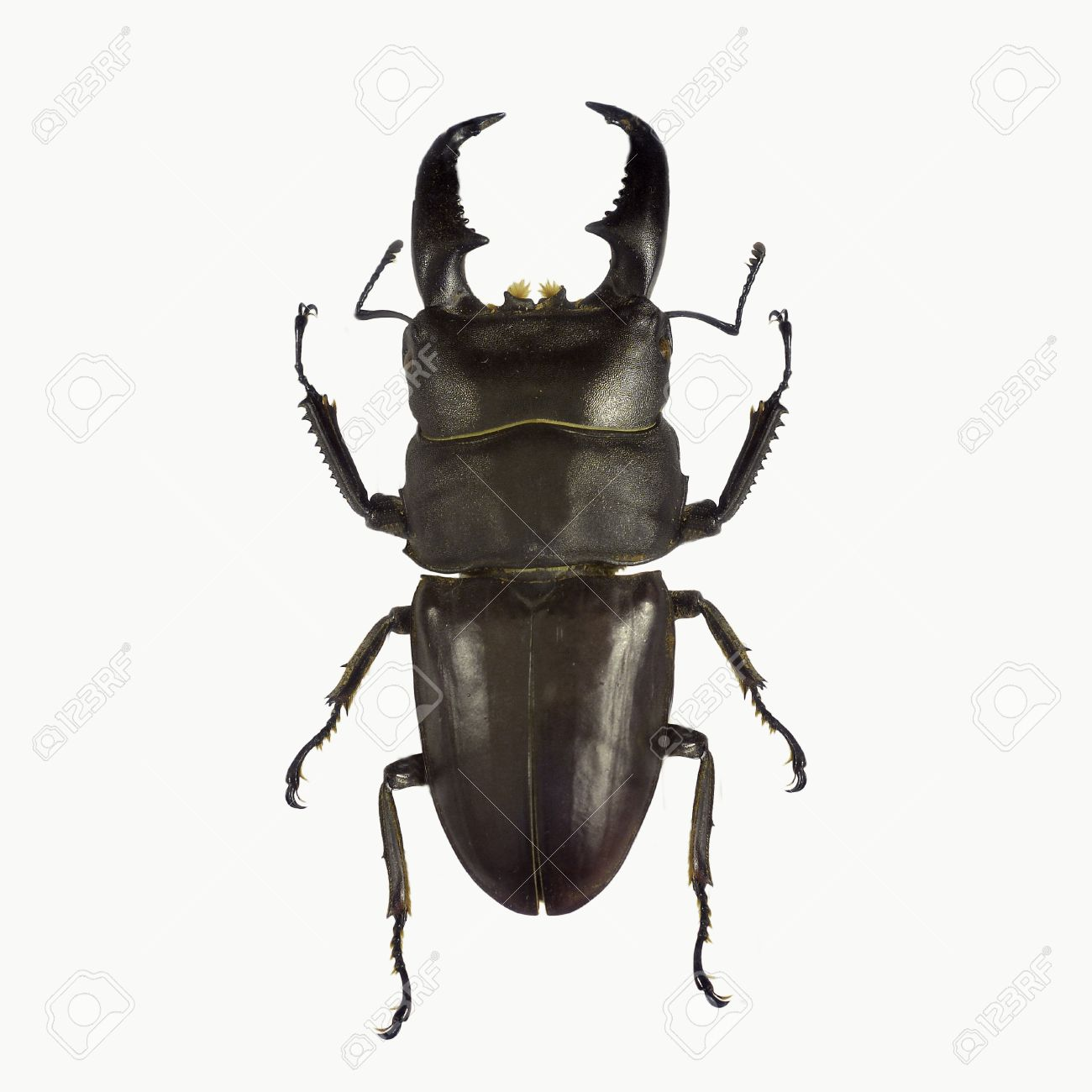 Black stag beetle isolated on white background - 34559087