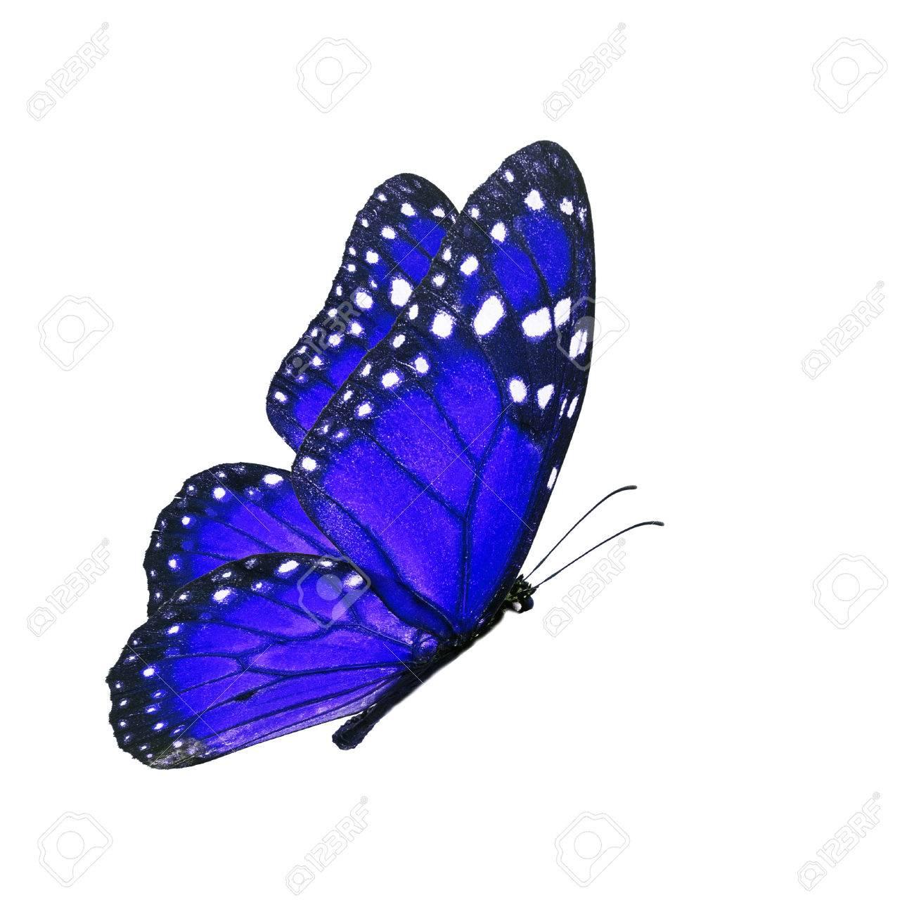 Immagini Stock Bella Farfalla Blu Battenti Isolato Su Sfondo